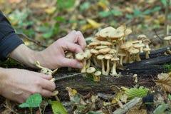 Sélectionnant des champignons dans la forêt, un homme coupe des champignons sur un vieil arbre qui est tombé photos stock