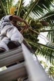 Sélectionnant la noix de coco avec le papa extérieur photographie stock libre de droits