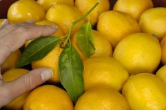 Sélectionnez un citron Photo libre de droits
