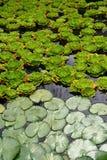 Séparation des plantes aquatiques Photos stock