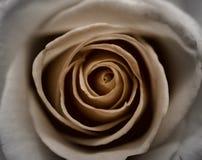 Sépia Rose Image libre de droits
