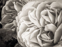 Sépia Rose images libres de droits