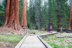 séquoia Photo stock