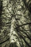 Séquoia Image libre de droits