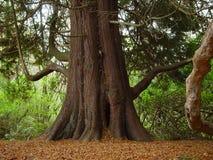 Séquoia Photos libres de droits