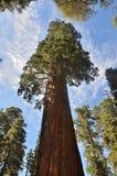 séquoia Photo libre de droits