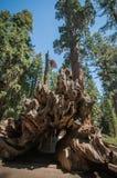 Séquoia de racine Photographie stock libre de droits