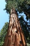 séquoia de stationnement national Image libre de droits