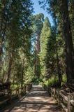 Séquoia de traînée d'arbre Photographie stock libre de droits