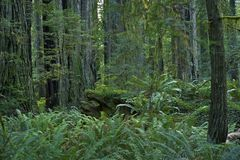 Séquoia Forest California Photographie stock