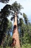 Séquoia géant images libres de droits