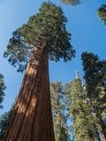 Séquoia géant photo stock