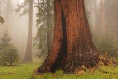 Séquoia géant Photo libre de droits