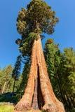 Séquoia géant en parc national de séquoia photographie stock