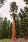 Séquoia géant en parc national de séquoia Photographie stock libre de droits