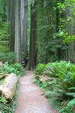 Séquoia NP photographie stock
