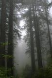 Séquoia NP Photo libre de droits