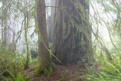 Séquoia NP images stock