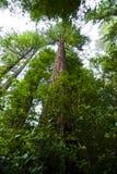 Séquoias Images stock