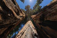 séquoias photographie stock