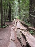 séquoias Photographie stock libre de droits