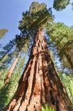 Séquoias dans le verger de Mariposa, parc national de Yosemite photo stock