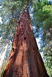 Séquoias géants Photo stock