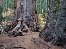 Séquoias géants images libres de droits