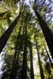 Séquoias géants au stationnement national en bois de Muir Photo libre de droits
