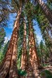 Séquoias géants près de parc national de Yosemite en Californie image stock