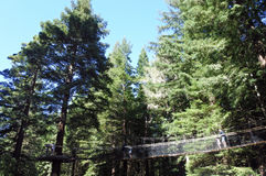 Séquoias Treewalk aux forêts géantes Nouvelle-Zélande de séquoia images stock