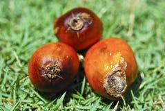 Série 01 de graine de palmier à huile Photos stock