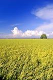 Série 2 do campo do arroz Imagem de Stock