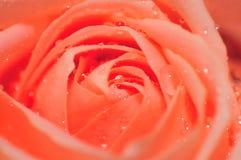 Série cor-de-rosa 5 de Rosa Fotografia de Stock