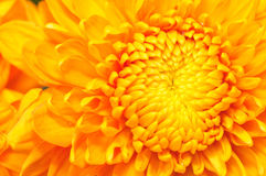 Série d'or 4 de chrysanthemum Photographie stock libre de droits