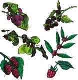 Série d'illustration de fruit Photographie stock