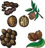 Série d'illustration de noix Photos libres de droits