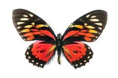 Série da borboleta - Papilio Zagreus (Peru) imagens de stock