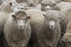 A série da exploração agrícola dos carneiros Imagens de Stock