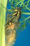 Série da metamorfose - Swallowtail imagem de stock