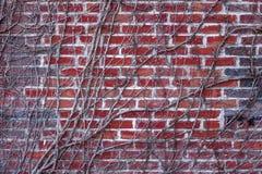 Série da textura - parede de tijolo vermelho coberta com as videiras Imagem de Stock