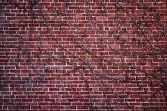 Série da textura - parede de tijolo vermelho coberta com as videiras 2 Imagem de Stock Royalty Free