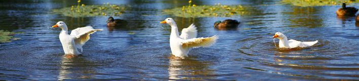 Série de canard Photo libre de droits