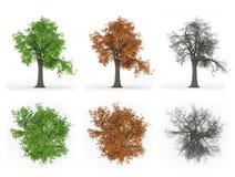 Série de cycle d'année d'arbre de cendre Images stock