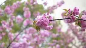Série de fleurs au printemps : Fleurs des fleurs roses de cerise dans de petits groupes sur un balancement de branche de cerisier banque de vidéos