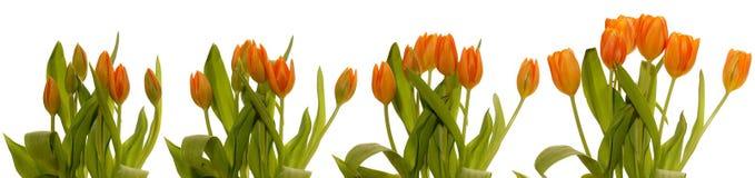Série de florescência das tulipas Foto de Stock Royalty Free