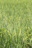 Série 1/8 de gisement de riz Image libre de droits