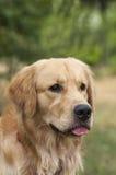 Série de golden retriever Photo stock