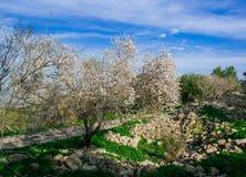 Série de Holyland - amêndoa Tree#2 Fotos de Stock Royalty Free