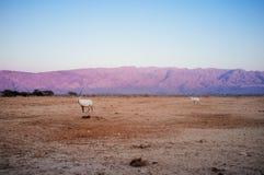 Série de la Terre Sainte - réserve naturelle de Hai-barre de Yotvata Photographie stock